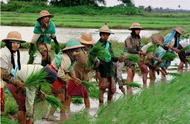 rice field myanmar.jpg